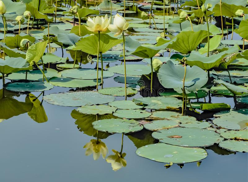 Reflection of lotus flowers in the water of Carter Lake Iowa. Reflection of lotus flowers on the water of Carter Lake Iowa. Lotus field could obstruct traffic on royalty free stock photography