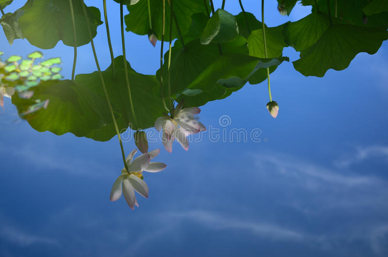 Reflection on water surface, lotus flowers, Japan. Flowers and leaves reflecting on the glassy surface of water at summer, Kyoto Japan royalty free stock photo