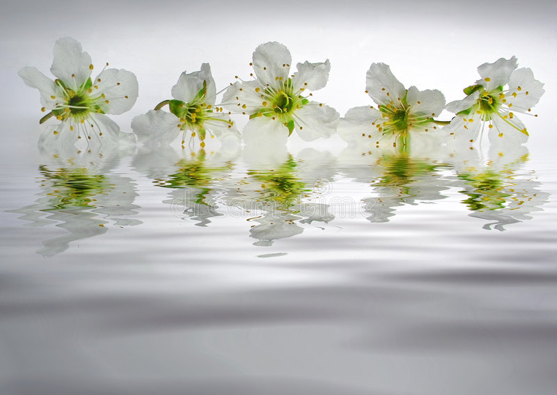 Reflection of white mirabelle stock photo