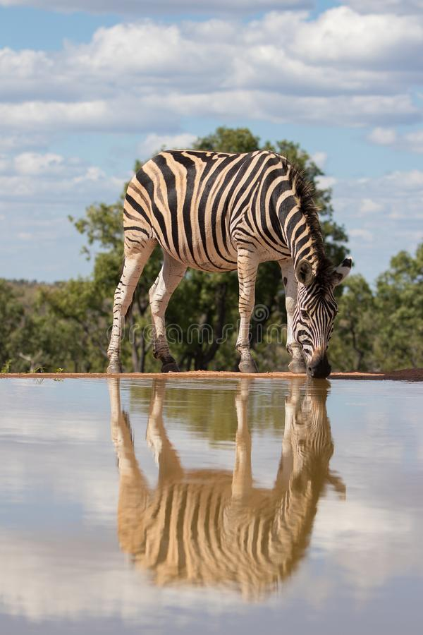 Zebra ( Equus Burchelli) drinking at the water hole with reflection. Welgevonden, South Africa. Zebra drinking at a water hole, Welgevonden Game stock photography