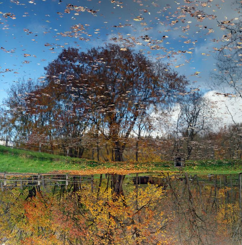 Reflections of golden autumn maple trees in lake water stock image