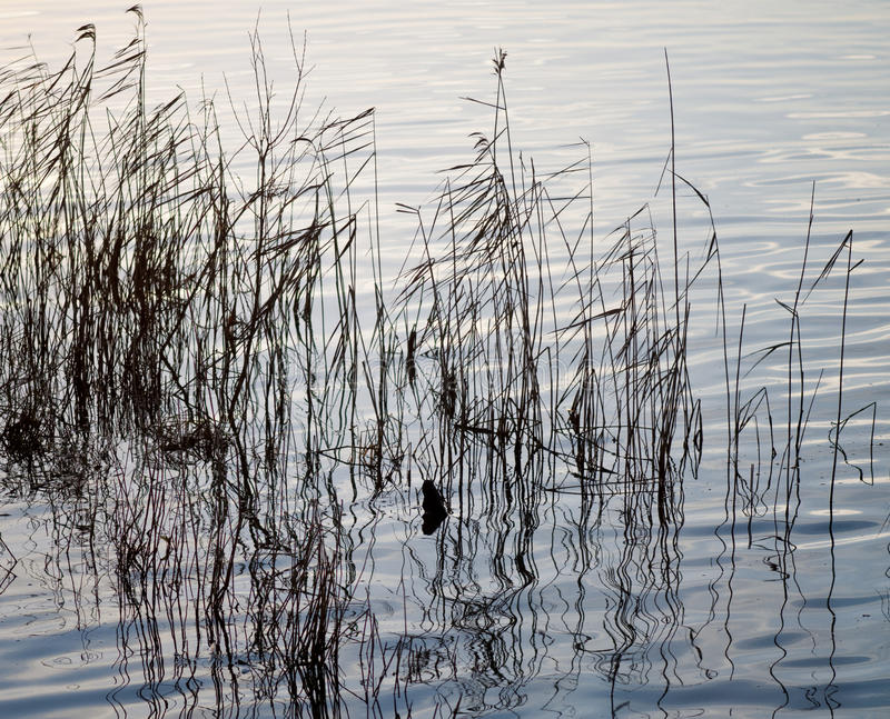 Download Reflections Of Grasses In Water. Royalty Free Stock Photography - Image: 28625997