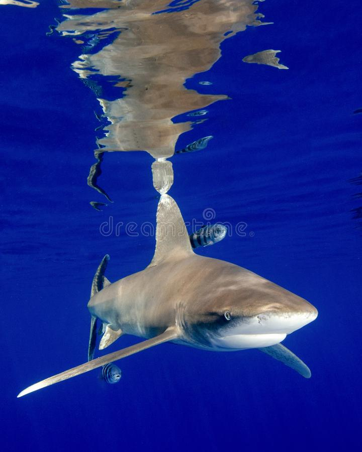 The Reflections of an Oceanic White Tip Shark in the Bahamas stock photos