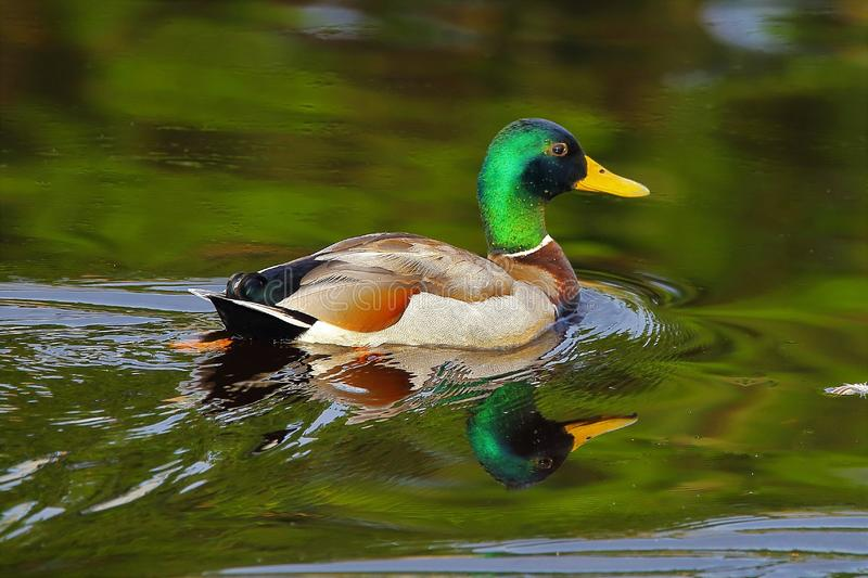 Reflections on the pond. This beautiful male Mallard duck was swimming on the pond on a early summer morning. The refection off the water put the touches on this royalty free stock photos