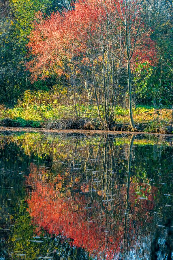 Reflections of autumn coloured foliage on a tree in a pond. Reflections of red and yellow coloured foliage of a tree on the surface of a lake royalty free stock image