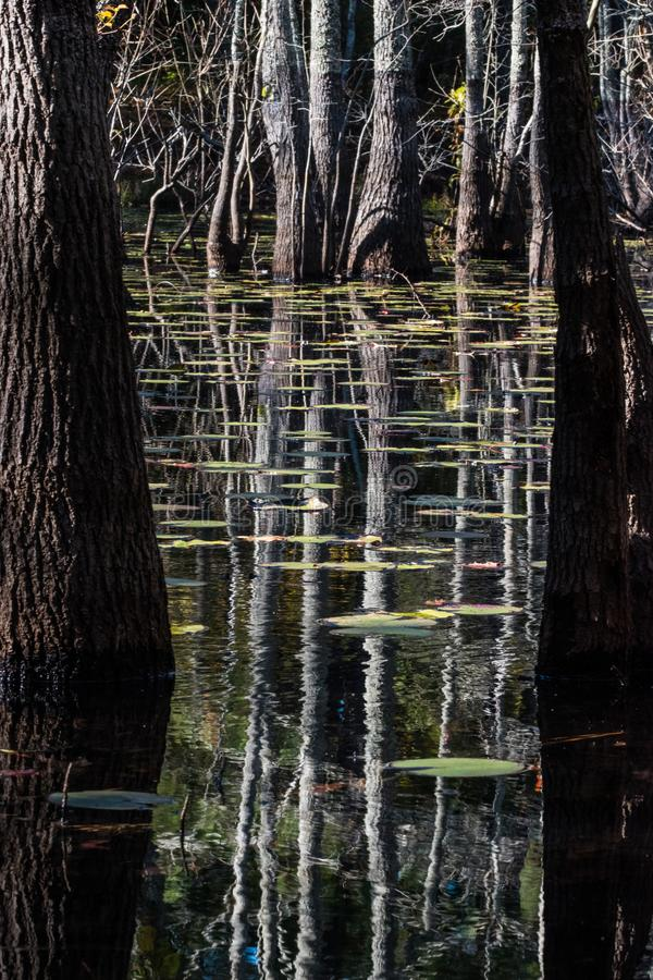 Lily pad and Bald Cyprus in swamp stock photography