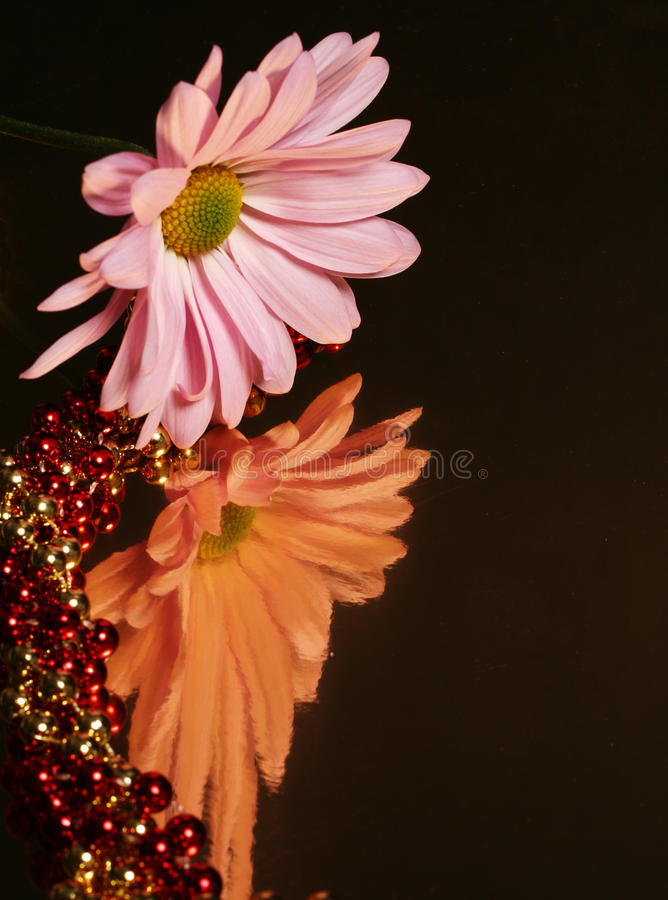 Reflective Daisy royalty free stock images