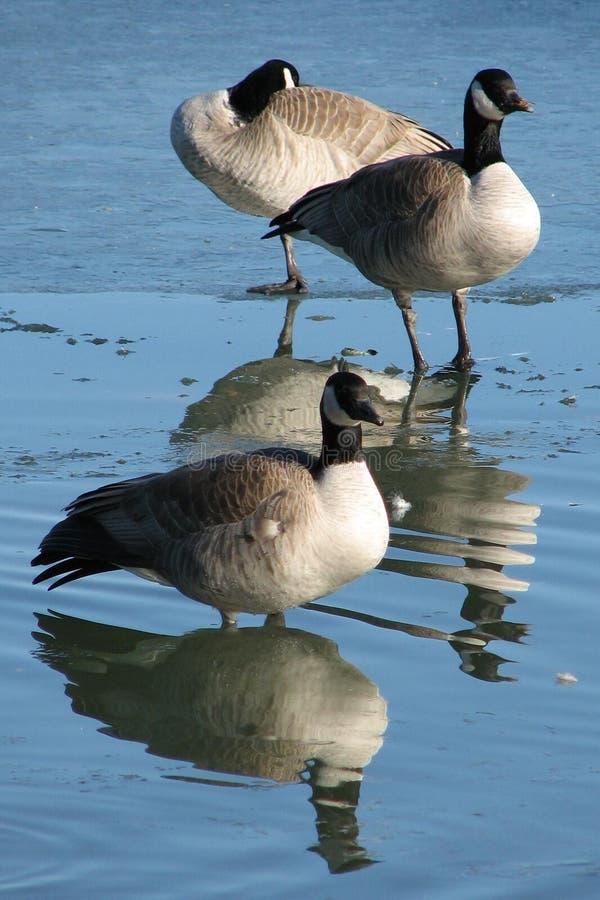 Reflective Geese royalty free stock photos