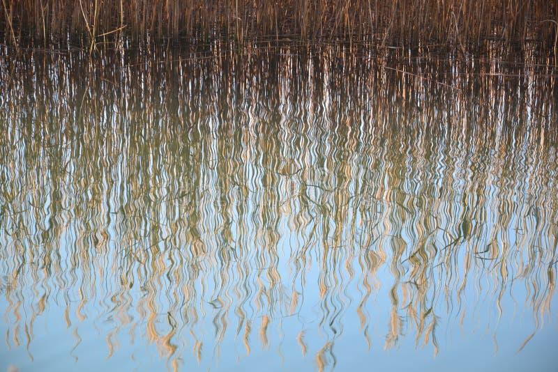 Reflexão da água da grama de Reed fotografia de stock