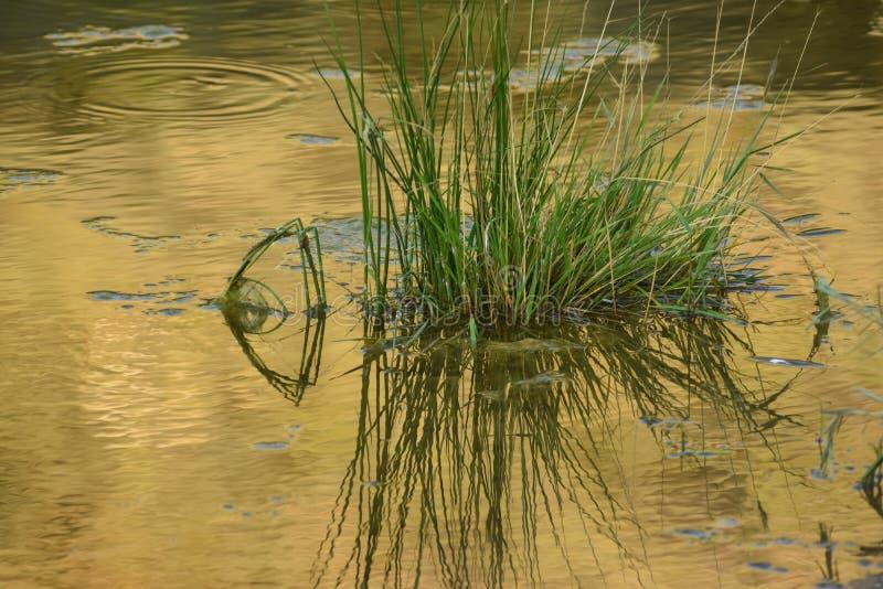 Reflexão da lagoa com grama fotos de stock
