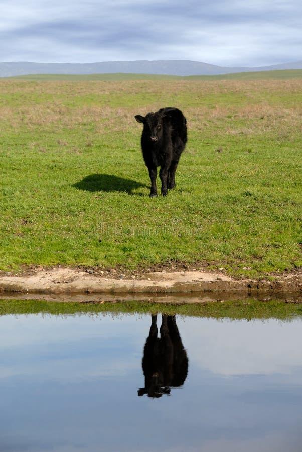Reflexão da vaca da escala fotos de stock royalty free