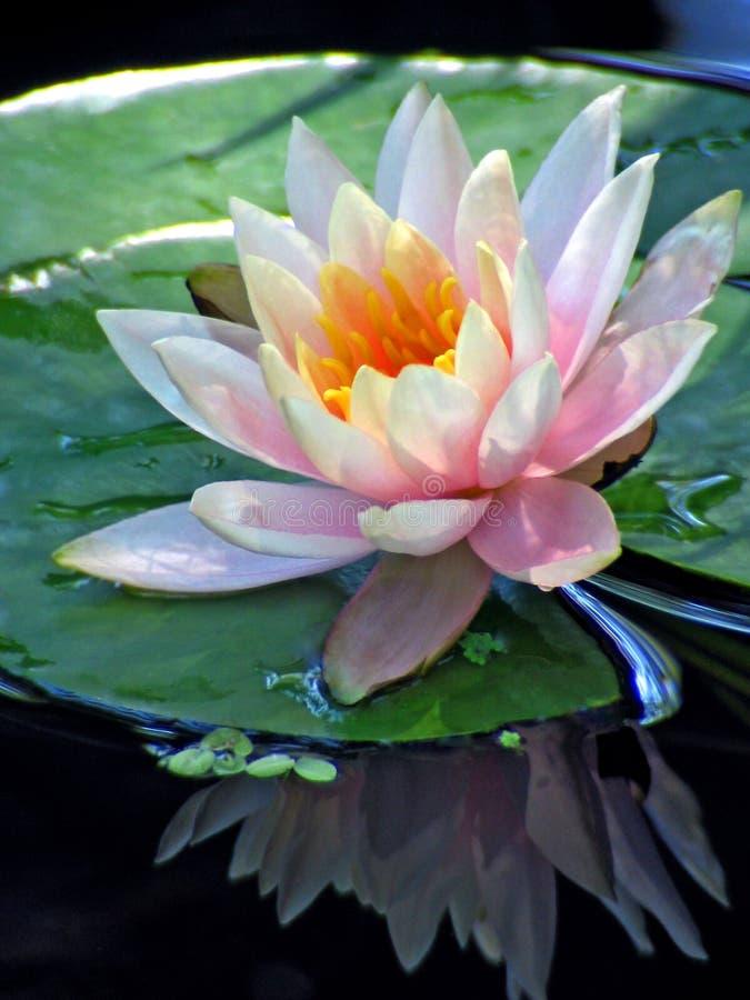 Reflexão da waterlily foto de stock