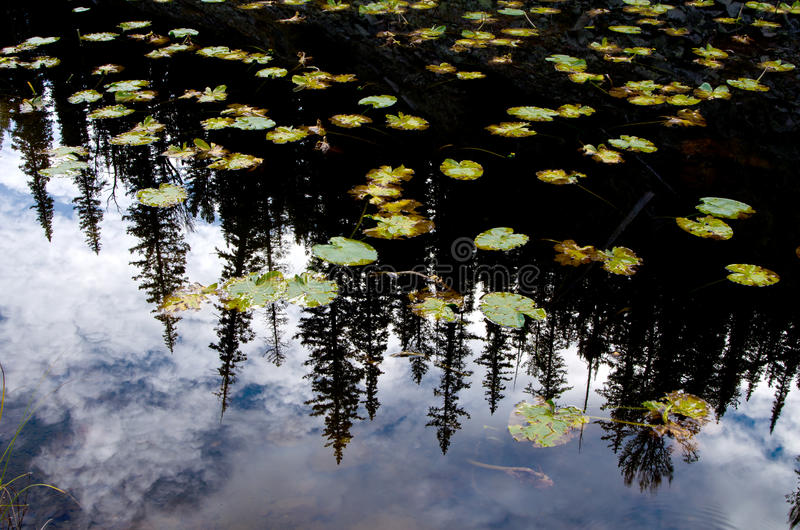 Reflexão de Lilly Pads e do pinheiro no parque nacional de Yellowstone imagens de stock