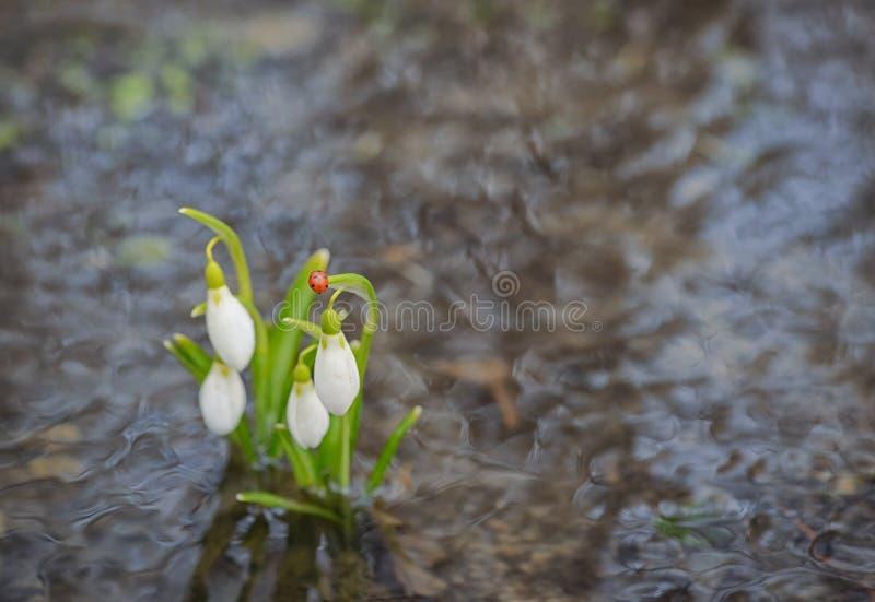 Reflexão de Snowdrops na água imagens de stock royalty free