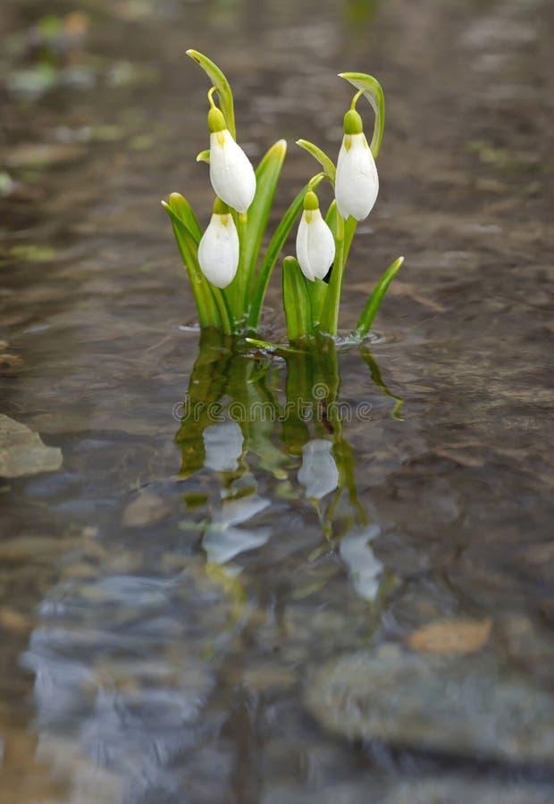 Reflexão de Snowdrops na água foto de stock royalty free