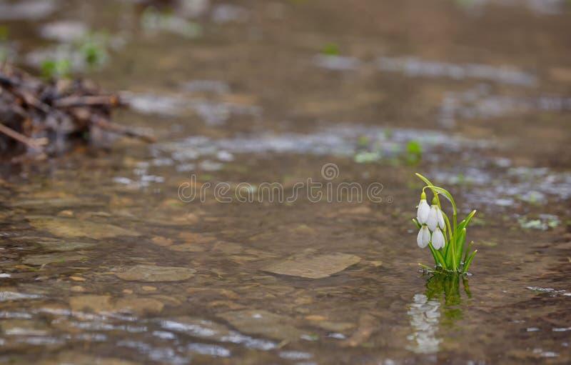 Reflexão de Snowdrops na água fotos de stock