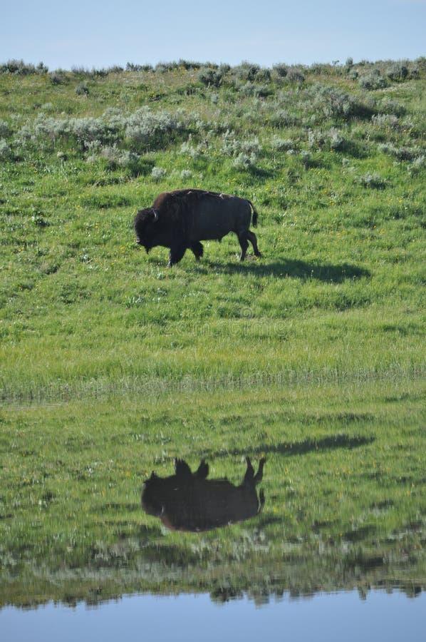 Reflexão do lago do búfalo do bisonte americano de Yellowstone foto de stock