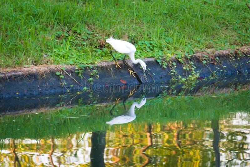 Reflexões da água de um egret branco bonito que pesca com cabeça para baixo na borda dos water's, em um jardim tropical fotos de stock royalty free