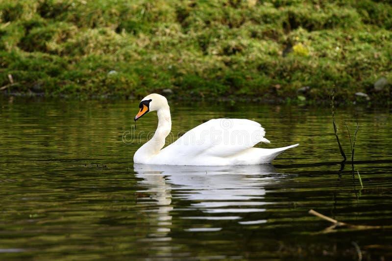 Reflexões da cisne muda imagens de stock