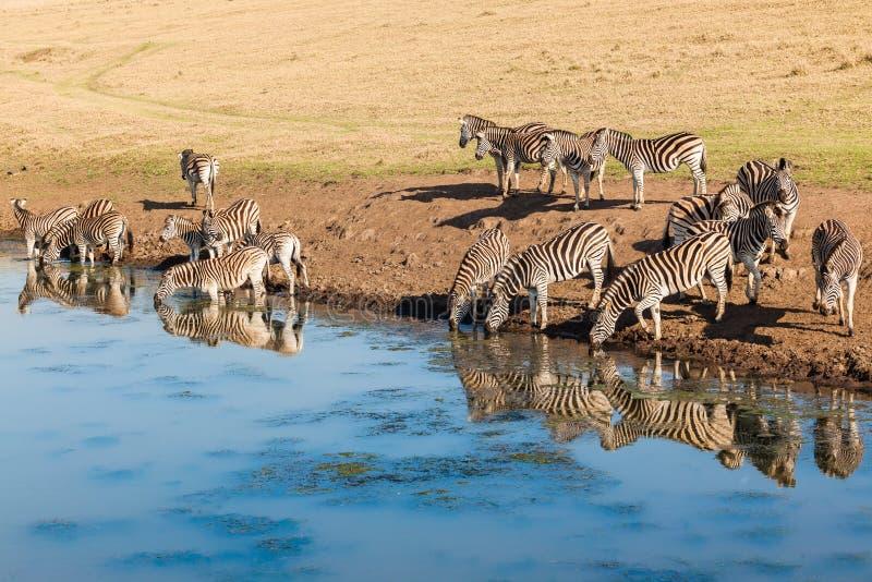 Reflexões de espelho da água dos animais selvagens das zebras fotografia de stock