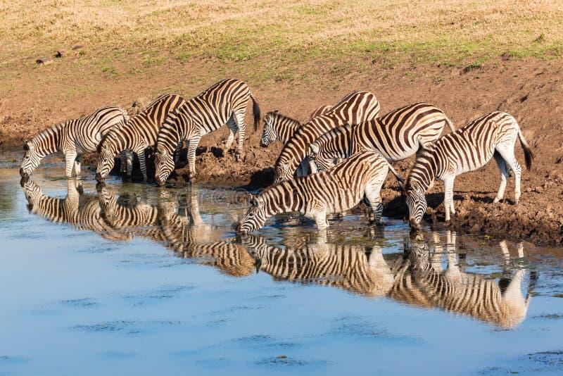 Reflexões de espelho da água potável da zebra fotos de stock royalty free