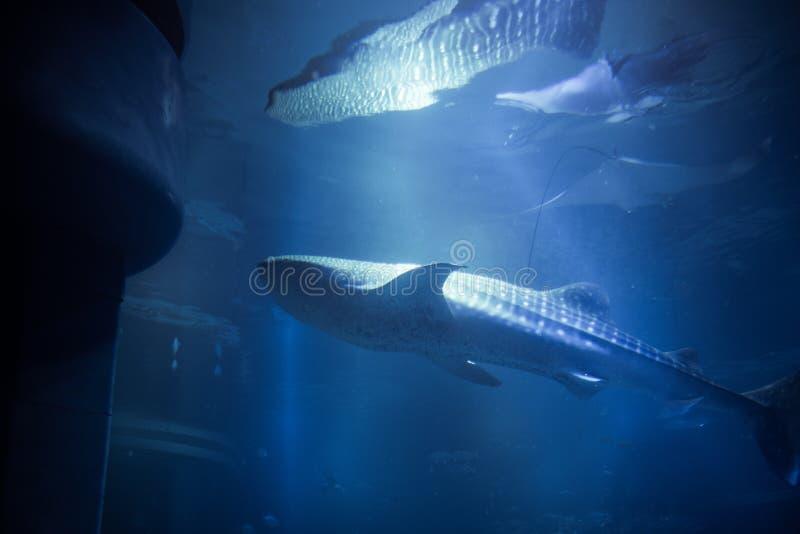 Reflexões do tubarão de baleia imagem de stock royalty free