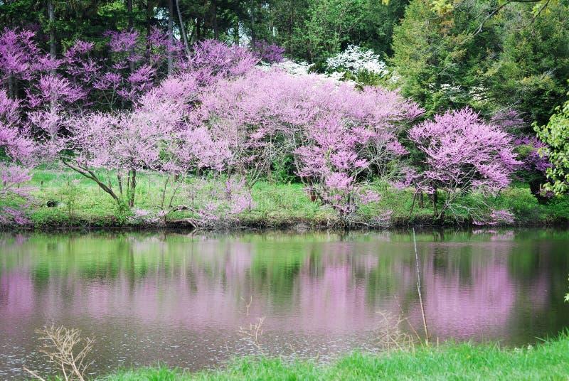 Reflexões dos redbuds no lago Marmo em Morton Arboretum em Lisle, Illinois foto de stock