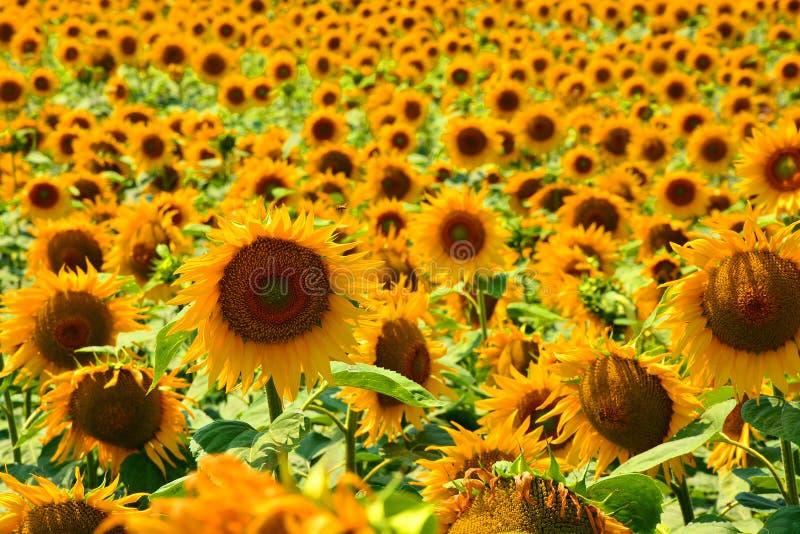 Reflexões douradas no nascer do sol - girassóis e abelhas imagens de stock royalty free