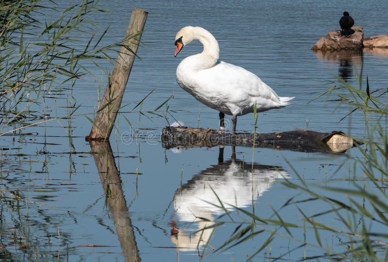 Reflex?es de uma cisne muda imagens de stock