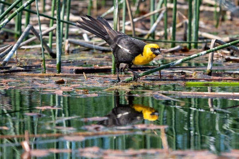 reflexión Amarillo-dirigida del mirlo en el agua foto de archivo libre de regalías