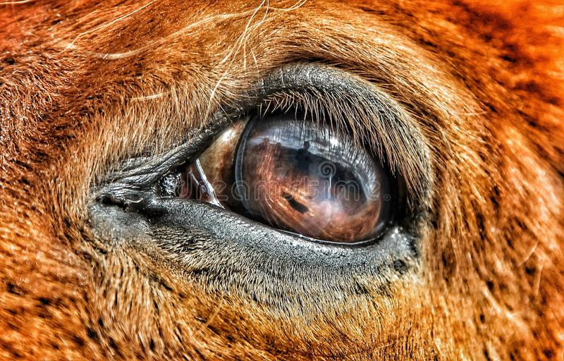 Reflexión apagado del ojo de un caballo islandés foto de archivo libre de regalías