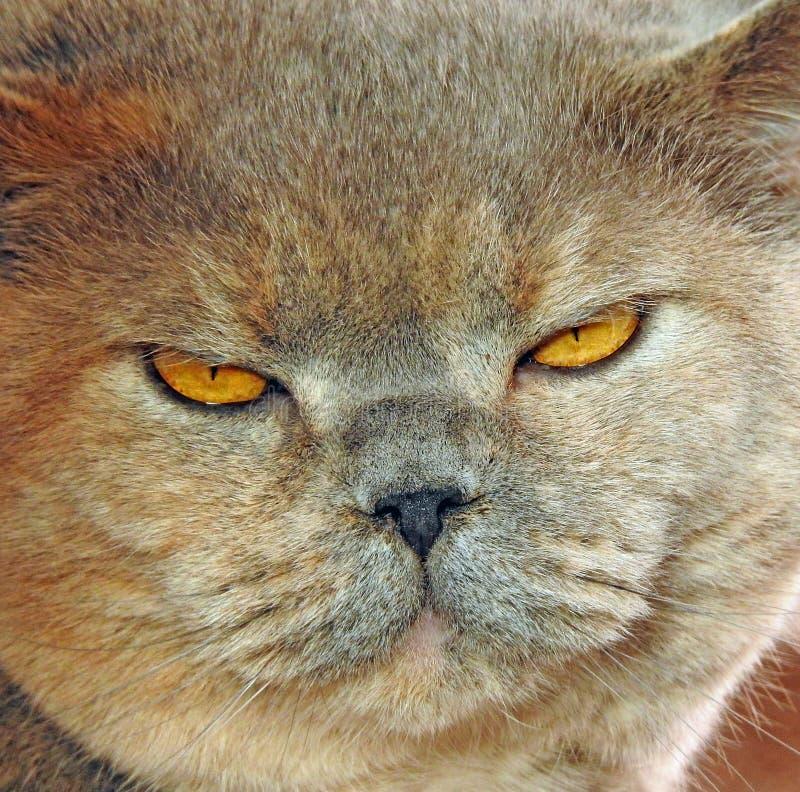 Reflexión de la cara del gato fotos de archivo