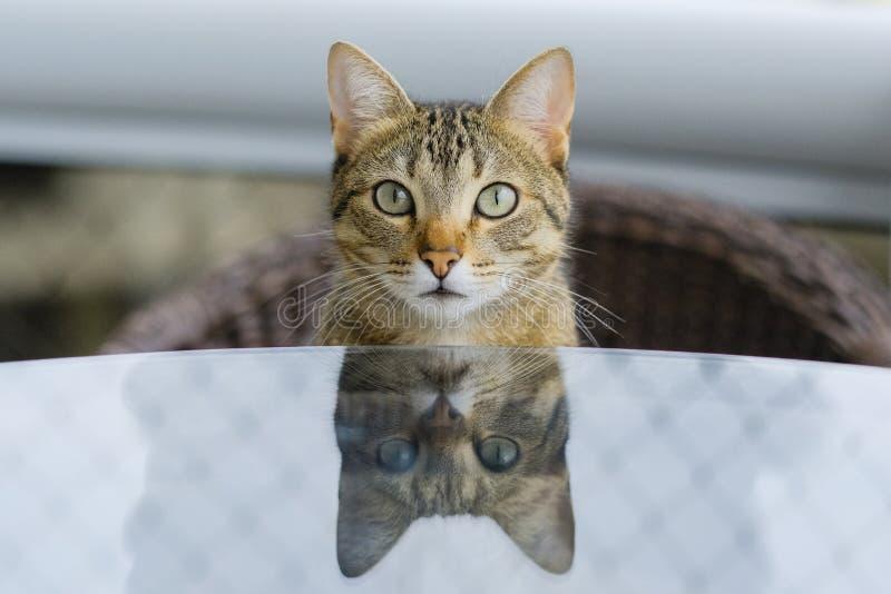 Reflexión de la comida del gato que espera de ojos verdes para en la tabla foto de archivo libre de regalías