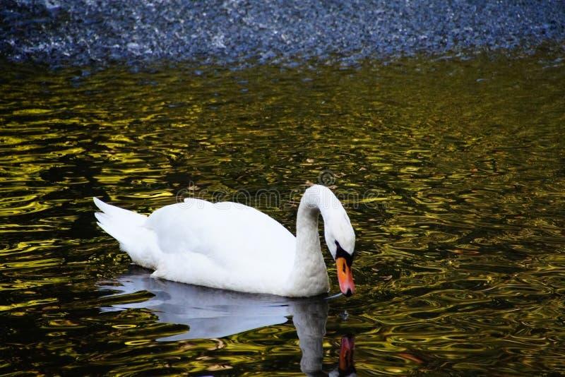 reflexión de la naturaleza del cisne del lago del otoño imagenes de archivo