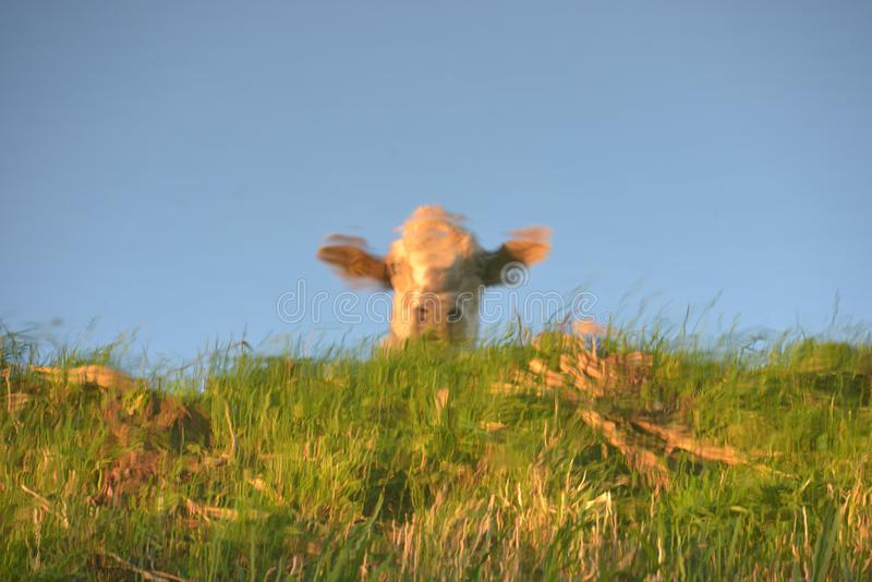 Reflexión de la vaca imagen de archivo libre de regalías