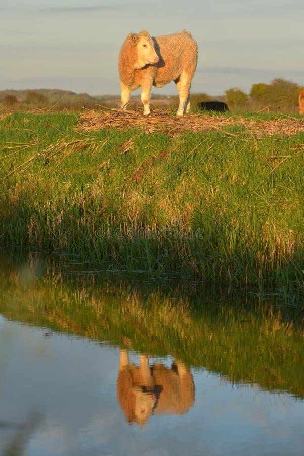 Reflexión de la vaca fotos de archivo libres de regalías