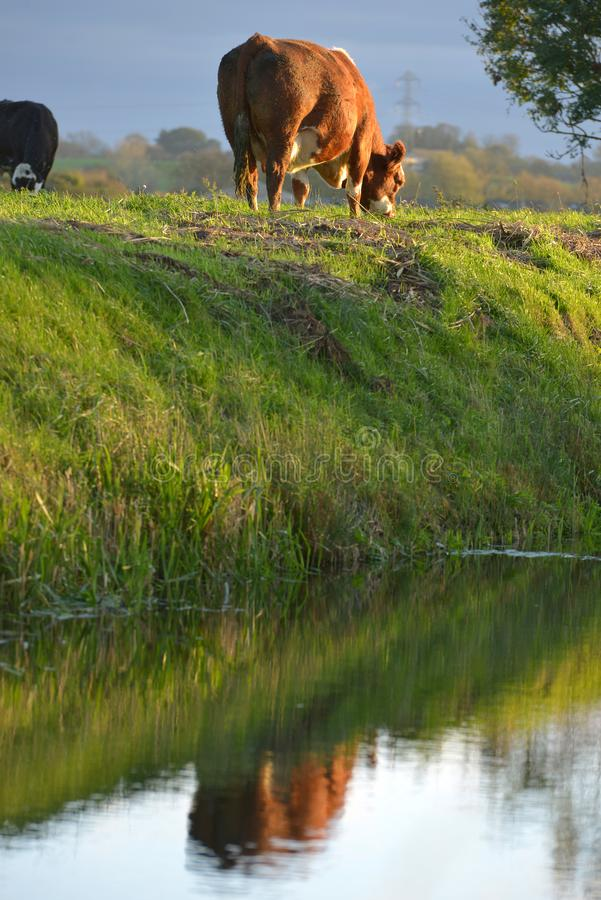 Reflexión de la vaca foto de archivo
