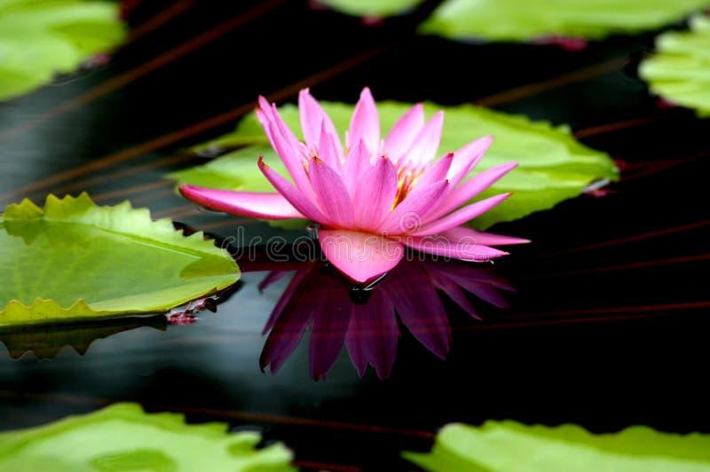 Download Reflexión De Lilly Del Agua Imagen de archivo - Imagen de pétalos, refleje: 1289525