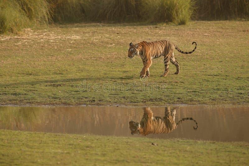 Reflexión de los tigres imagen de archivo libre de regalías