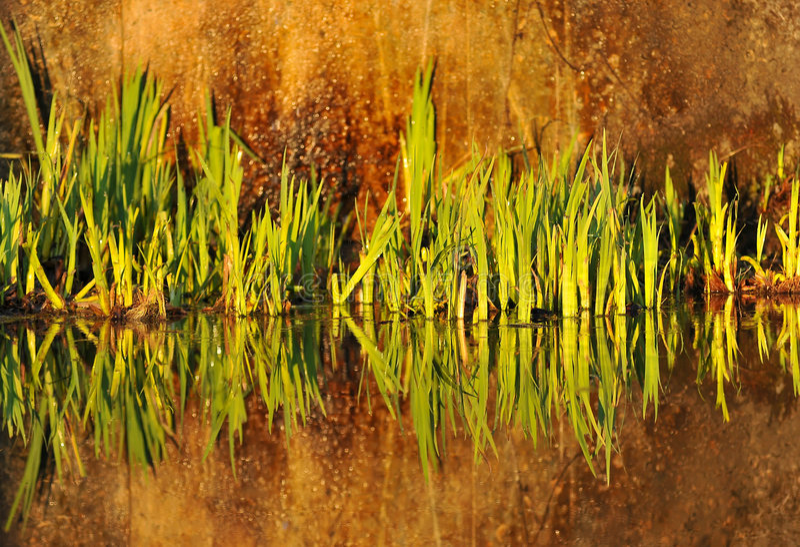 Reflexión de plantas en agua imagen de archivo