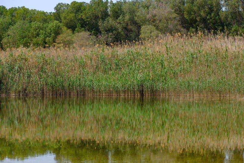Reflexión de plantas silvestres y de arbustos en Al Wathba Wetland Reserve Abu Dhabi, UAE foto de archivo