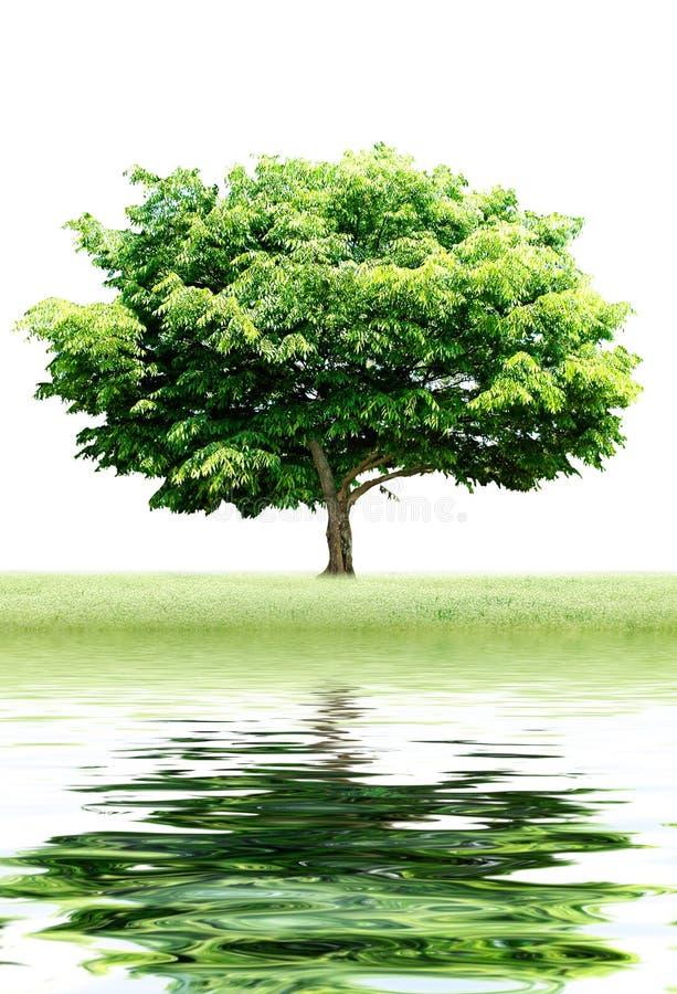 Download Reflexión del árbol foto de archivo. Imagen de viejo, azul - 7283330