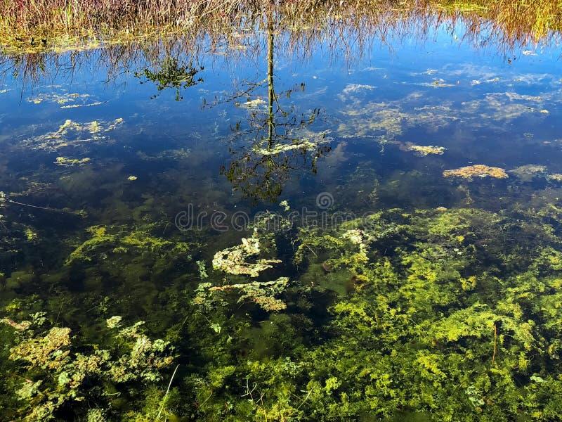 reflexión del árbol de ciprés fotos de archivo