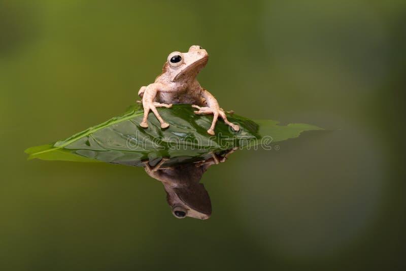 Reflexión espigada de la rana arbórea de Borneo imagen de archivo libre de regalías