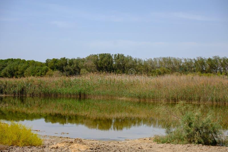 Reflexi?n de plantas silvestres y de arbustos en Al Wathba Wetland Reserve Abu Dhabi, UAE fotos de archivo