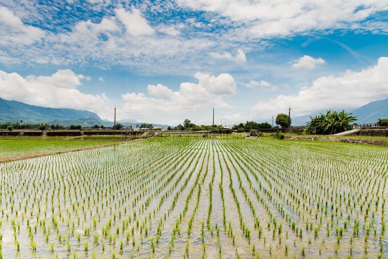 Reflexion av risfältfält, härligt naturligt landskap av gröna risfält i lantliga Chishang, Taitung, Taiwan royaltyfri foto