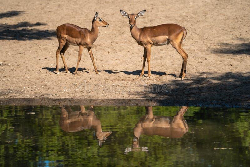 Reflexion av två vänner i zoo royaltyfri bild