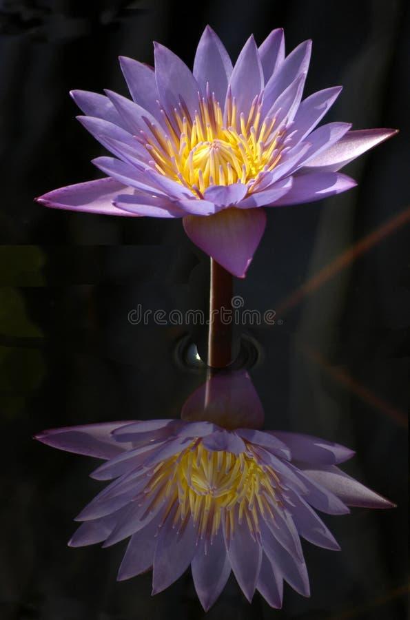 Reflexion av a waterlily på ett stilla damm royaltyfri fotografi