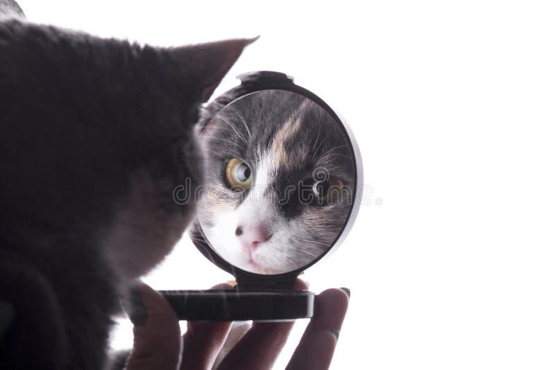 Reflexion der lustigen Katze in einem Spiegel in einer Frauenhand, Haustier, das vom Make-up ablenkt stockbild