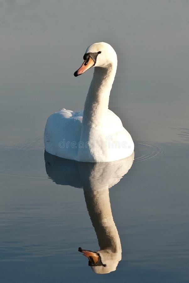 Reflexion des Schwans in einem Teich lizenzfreies stockbild